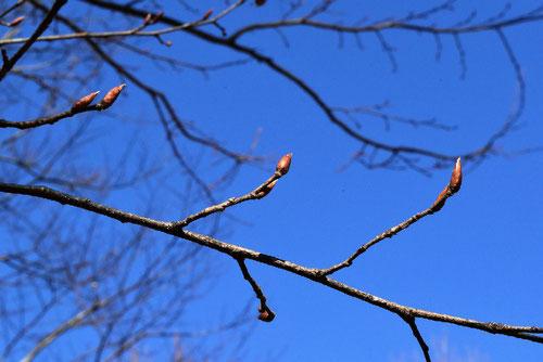 ソロの木,新芽