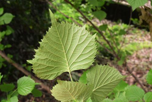 シソに似た葉