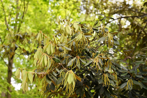 イチイガシの木,葉っぱ