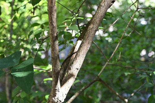 幹は直立し、上部で枝分かれする