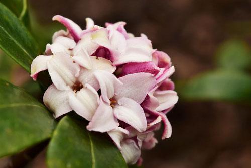 Winter daphne,flower in Japan
