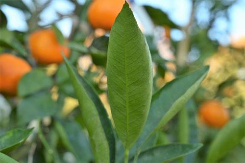 栽培品種,ウンシュウミカン