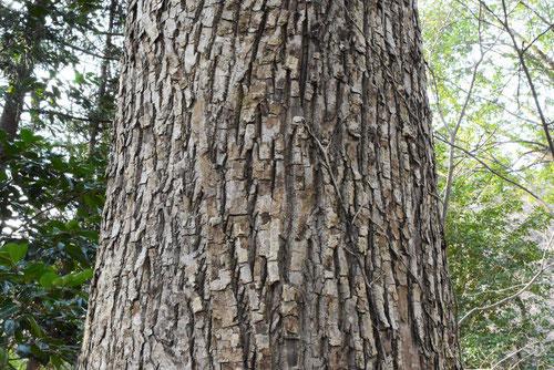 沢胡桃 木 種類