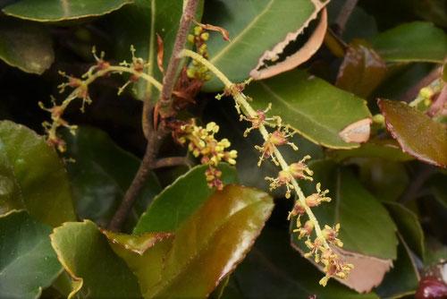 ウバメガシ 開花時期