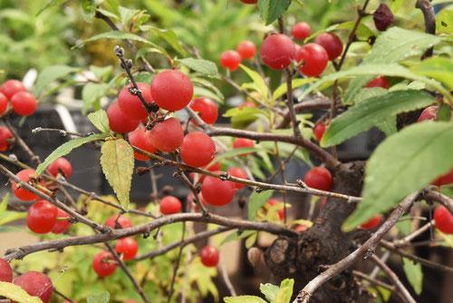 小梅 樹木 赤い実