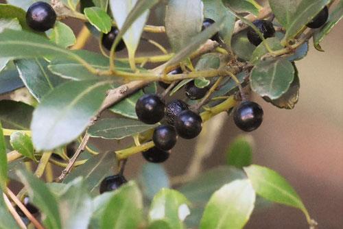 おおばいぬつげ,黒い果実