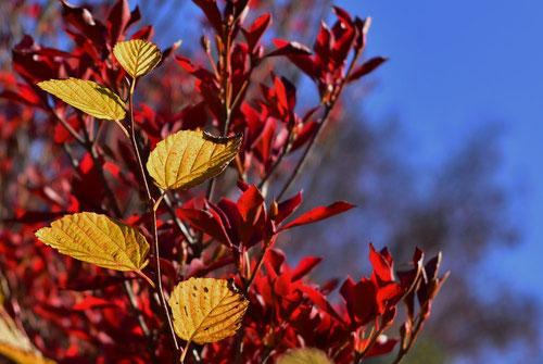 紅葉 黄葉 ヒュウガミズキ