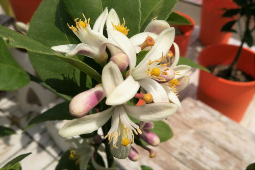 檸檬の花,画像,れもん
