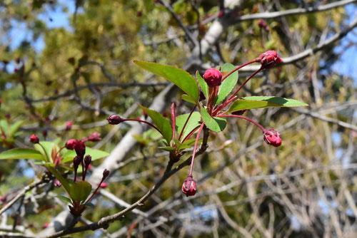 海棠の木の花