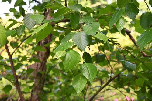 シラカバに似ている木