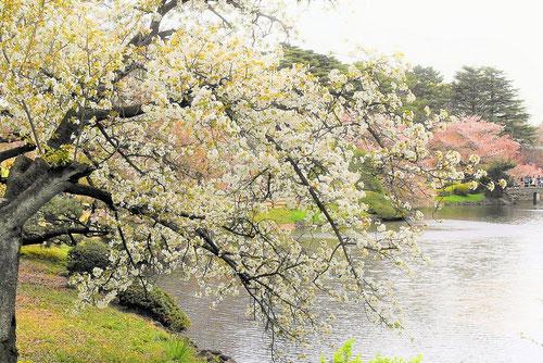 山桜 染井吉野