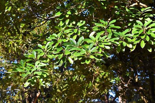 ヒメユズリハの木の葉