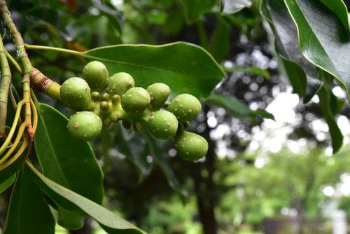 おがたまの木の実