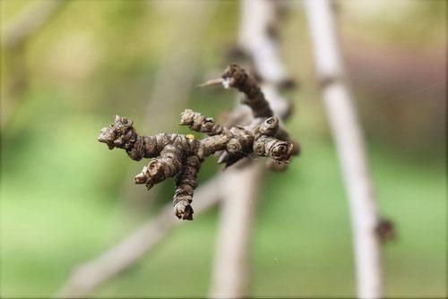 ウコギの木,新芽