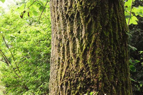 百合の木,樹皮,ゆりのき