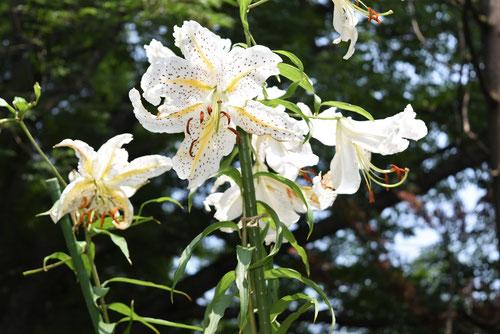 ヤマユリの花,やまゆり