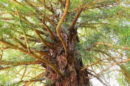 コウヤマキ,老木