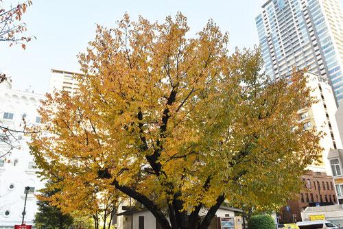 山桜,街路樹
