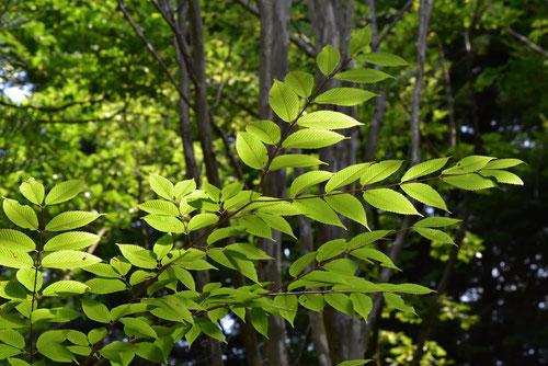 Hornbeam Maple,leaf