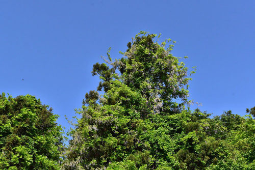 wild style,Wisteria floribunda
