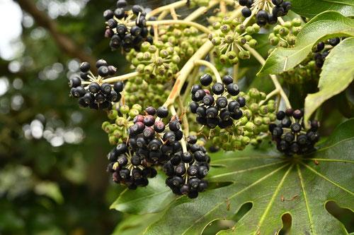 八つ手の木の実