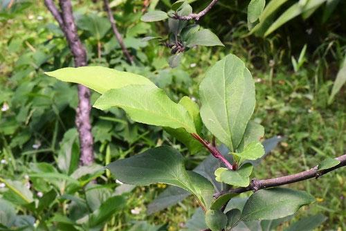 海棠,葉っぱ,画像,かいどう