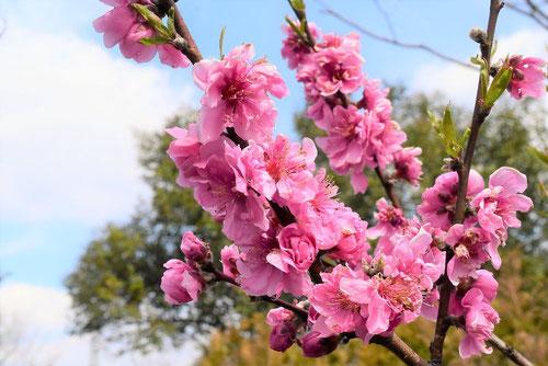 ハナモモの花