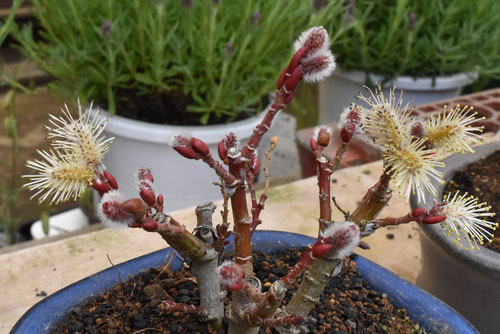 ネコヤナギの盆栽