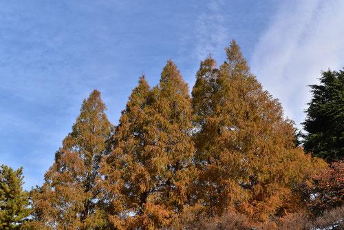 曙杉 紅葉 黄葉 並木
