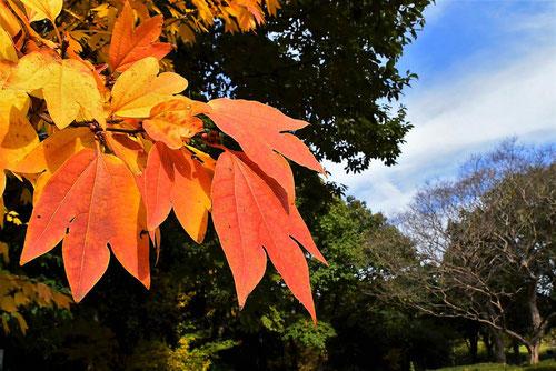 シロモジ 樹木 紅葉
