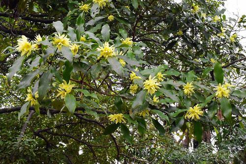 シキミの花 開花時期 特徴