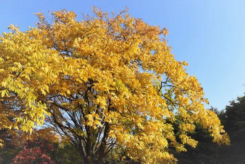 樹木 ムクロジ 紅葉