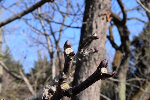 ごんずい,樹木,冬芽