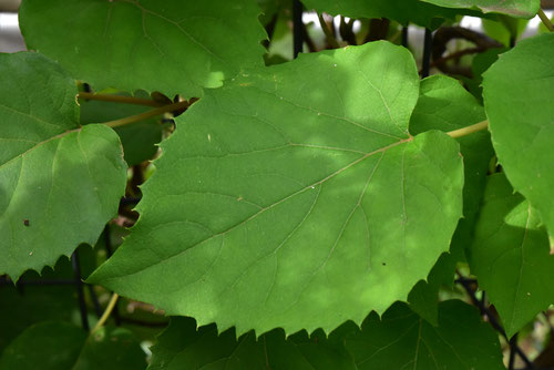 イワガラミの葉っぱ 画像