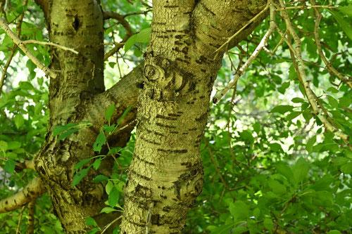 クロウメモドキ,くろうめもどき,樹木図鑑