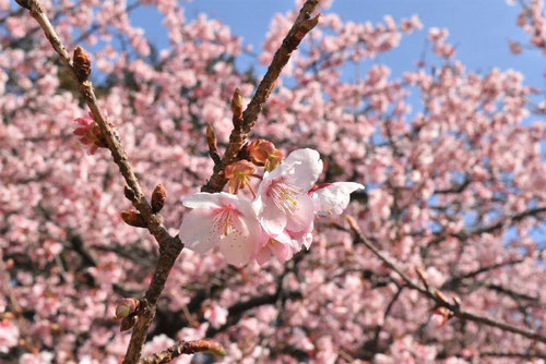 寒桜,画像