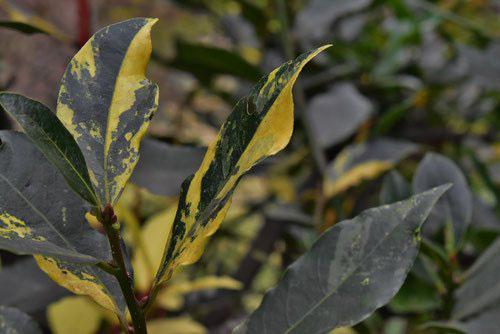斑入りゲッケイジュの葉