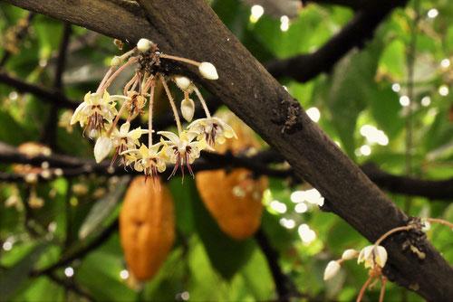 ココアの木,開花
