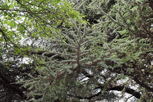 レバノン杉 ヒマラヤスギ
