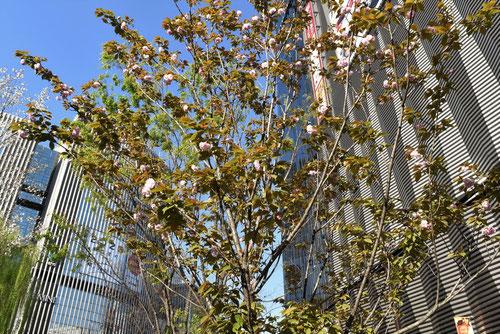 八重桜のがいろじゅ