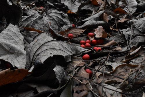 イイギリの実,赤い実