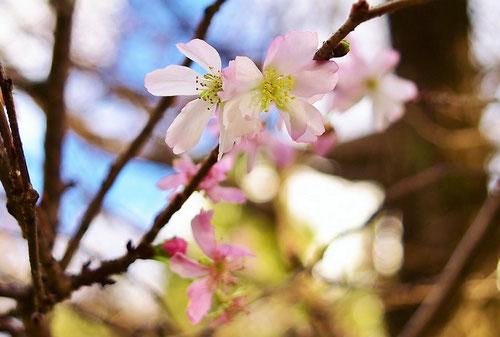 冬桜,画像,花,ふゆざくら