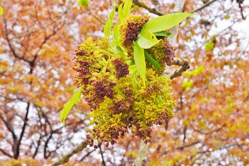 シオジの花,特徴