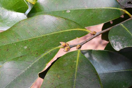 椎の木の冬芽