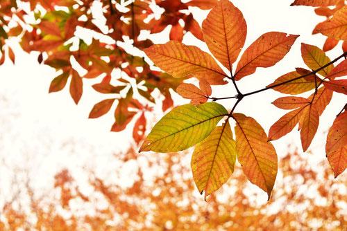 目薬の木 紅葉