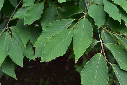 いぬぶな 葉っぱ 写真