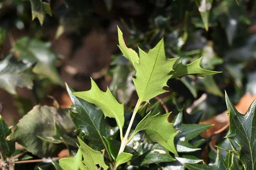 ヒイラギ,植物