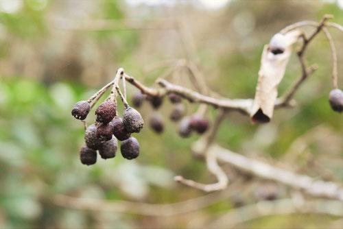 カマツカ,木の実