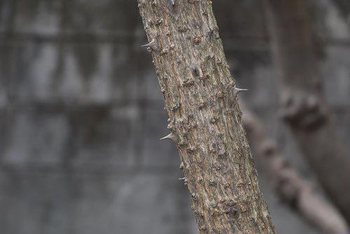 棘のある木 垣根