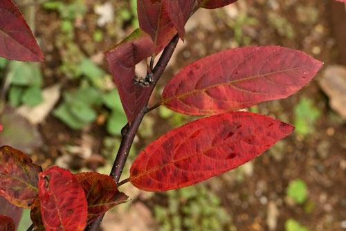 Virginia-willow